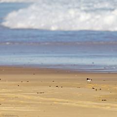Hooded Plovers 5 (aaardvaark) Tags: 201702221d9951hoodedplover47x23 hoodedplover thinornisrubricollis capeconran vic australia threatened