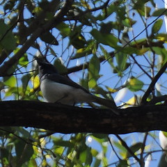 Myiagra rubecula ♂ (Diana Padrón) Tags: victoria australia bird birds nature naturaleza outdoors belleza bello beautiful relax tatong leaden flycatcher myiagra rubecula