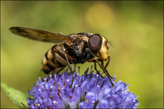 DRD160807_0031 (dmitry_ryzhkov) Tags: color colour colourful colours colorful colors arthropoda fly flies diptera summer forest field russia moscow art europe light lights shadow shadows live photo photography shot sony alpha wild wildlife life moment shots nature naturephoto naturephotography natureshot photograph close closeup closeupshot macro macrophoto macrophotos macrophotography macroshot small micro little entomology entomologist biologist biology zoology botany fauna enviropment outdoor outdoors bug bugs animal animals animalphotography insect insects inhabitant inhabitants