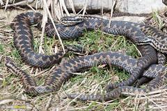 Spring snakes (Dom Greves) Tags: adder dorset durlston grassland march reptile snake spring uk viperaberus wildlife