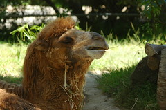 Camel (Super Hanz) Tags: flowers nature animals zoo la nikon d70 wildlife sb600 80200mmf28