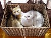 "Lua and Ling in their ""bed"" (_Xti_) Tags: pet cats pets cat silver mouth golden persian fantastic eyes furry feline chat kitty gatos exotic gato gata lua felines gatto ling katzen gatti cutecat mau exoticcats kaz kätzchen ket gatas exoticcat gatosexoticos gatoexotico méo sorthair exoticsorthair"