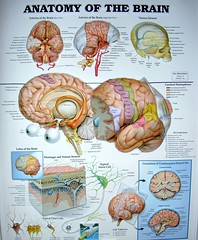 Brain Anatomy Chart