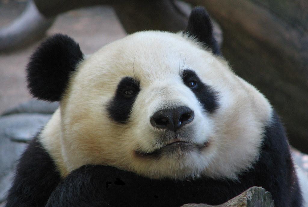 Sweet Mama, Bai Yun today.  Congratulations on the new baby Bai Yun:)