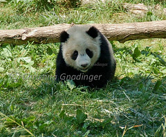 Memorial Day / Memorial Weekend, at the National Zoo in Washington DC, Happy Birthday Tai Shan!! (joschmoblo) Tags: pandabear panda bear taishan nationalzoo washingtondc washington dc nikon d50 18200 zoo animal wild memorialweekend joschmoblo allrightsreserved christinagnadinger 2007 copyright memorial day memorialday weekend tribute honor statues