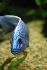 Reef fish (Tetanus) Tags: underwaterworld