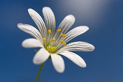 Stellaria (hegtor) Tags: life pink summer wallpaper white plant flower macro nature yellow closeup flora shiny background meadow pistil stamen greater pollen herb stitchwort stellaria starwort easterbell