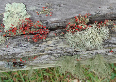 Lichens on fence rail, Pickens County, SC (Martin LaBar (going on hiatus)) Tags: red macro fence rojo southcarolina rail lichen lichens deadwood liquen sonydsch1 pickenscounty britishsoldiers cladoniacristatella thecontinuum 2for2 cladoniaceae a1f1 mutualism