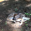 Sleep, Sweet Little Baby (N. Mexico) Tags: baby brown white green nature animal forest ilovenature 123 321 deer spots fawn magicmoments allanimals noahsark payitforward flickritis femalephotographers flickrtoday whitespots lovephotography commentonmycuteness specnature theworldthroughmyeyes myhappyplace