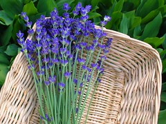 Lavender from My Garden