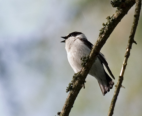 Collared Flycatcher, Ficedula albicollis