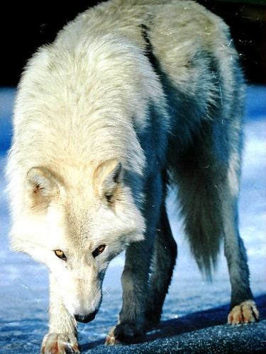 wolves of the forest 168530885_4e6433dbae
