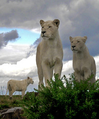 """Three Lions On Your Shirt"" (Bobasonic) Tags: white statue king photoshopped lion fake kiddy safari jungle lions top20catpix top20hallfame simba lk hereford roar lioness lionking worcester safaripark whitelion hw kidderminster westmidlandssafaripark top20cats wmsp kiderminster herefordworcester nikonstunninggallery bobasonic koodos robhenry bobhenryphotography bobhenryimages bobhenry robhenryphotography robhenryimages roberthenryphotography roberthenryimages roberthenry herefordandworcester bigpicture2008"