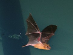 Bat (Noctilio albiventris?) in flight over swi...