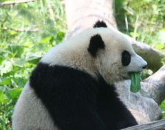 Mommy says I need to eat my greens (somesai) Tags: panda tian tai nationalzoo endangered sideview pandas meixiang taishan dczoo butterstick pandaunlimited sidef