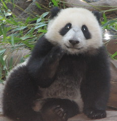 Let me explain something (kjdrill) Tags: china california bear baby feet station giant zoo cub panda hand sandiego chinese boo research sit frontview endangeredspecies sdzoo sulin fface