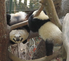 Watch this Su (kjdrill) Tags: china california bear baby station giant mom zoo cub stand back funny panda sandiego bears leg chinese mother research faced chin baiyun comical offspring pandas endangeredspecies sdzoo bellyup sulin