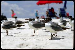 Gulls - Ship Island, Mississippi (laszlo-photo) Tags: usa beach gulfofmexico mississippi gulls biloxi 4thofjuly ektachrome100 scs shipisland specanimal photofans