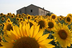 casina (otrocalpe) Tags: italy nature beautiful ilovenature 350d italia sunflowers sunflower canoneos350d loreto girasole marche ancona girasoli photodotocontest2