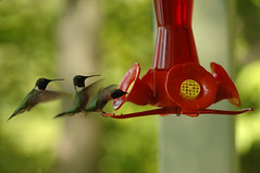 (S E B) Tags: canada bird nikon hummingbird quebec flight d2x feeder landing sequence june2006 saintmarcdescarrieres laccarillon martinpecheur sebastienettinger