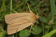 """Common Wainscot (mythimna pallens) Moth • <a style=""""font-size:0.8em;"""" href=""""http://www.flickr.com/photos/57024565@N00/179069970/"""" target=""""_blank"""">View on Flickr</a>"""