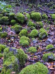 P1010562 (vituh) Tags: musgo green forest lumix canarias panasonic canaries canaryislands lagomera elcedro laurisilva cedro garajonay
