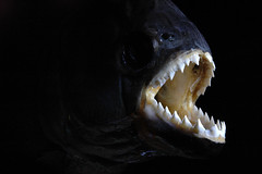 Piranha Nightmare (Nirvanart) Tags: fish photoshop nikon darkness d70 cs2 dream evil paintingwithlight nikkor piranha
