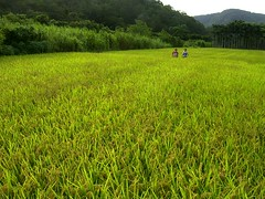 RIMG06791 (judie35) Tags: summer field rice taiwan sanyi