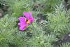 Bee On Flower, Dun Laoghaire, Ireland