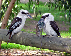 So whats for Lunch? (bluemist57) Tags: nature birds tag3 taggedout ilovenature tag2 tag1 wildlife australian australia animalplanet kookaburra themeanimals laughingkookaburra featheryfriday 2on2 featheryfriday1 animaladdiction specanimal waterrat twtmeblogged wildlifeofaustralia avianexcellence bfgreatesthits
