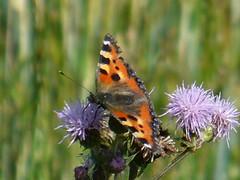 Monday's Butterfly (carola's look) Tags: butterfly carola monday specnature fcbm
