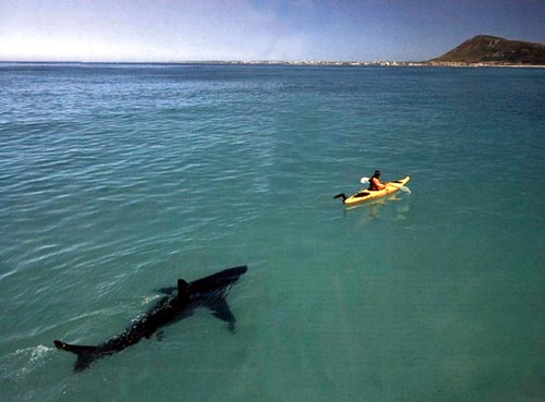 Great White Shark Stalking A Kayak Shark Photo