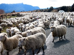 Oh no... Road block... not by the police but by tonnes of sheep!!! (hamsterunited) Tags: newzealand christchurch sheep dunedin laketekapo queenstown bayofislands milfordsound punakaiki wanaka kaikoura laketaupo paihia xgf02