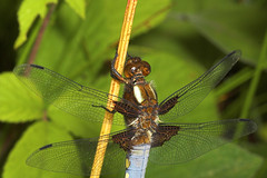 """Broad-Bodied Chaser (libellula depressa) Dragonfly Male • <a style=""""font-size:0.8em;"""" href=""""http://www.flickr.com/photos/57024565@N00/187221875/"""" target=""""_blank"""">View on Flickr</a>"""