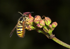"""Wasp(5) • <a style=""""font-size:0.8em;"""" href=""""http://www.flickr.com/photos/57024565@N00/187356342/"""" target=""""_blank"""">View on Flickr</a>"""