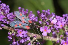 "Five-Spot Burnet Moth (zygaena trifolii) • <a style=""font-size:0.8em;"" href=""http://www.flickr.com/photos/57024565@N00/187464108/"" target=""_blank"">View on Flickr</a>"