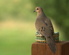 Mourning Dove--Enjoying the View (Momba (Trish)) Tags: bird ilovenature nikon bravo nikond70 dove mourningdove nikkor momba 80400mmf4556dvr interestingness10 featheryfriday happyfeatheryfriday i500 lovephotography nikonstunninggallery bokehsonicejuly explore14july2006 bokehsonicejuly14 qemdfinch qemdadminfave