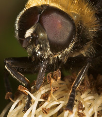 """Hoverfly head macro • <a style=""""font-size:0.8em;"""" href=""""http://www.flickr.com/photos/57024565@N00/190629114/"""" target=""""_blank"""">View on Flickr</a>"""
