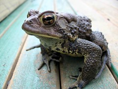 American Toad (1)