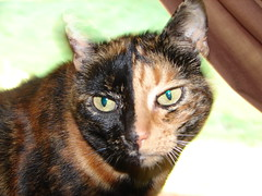 Rugrat (Tjflex2) Tags: cute topf25 beautiful loving female cat chat pretty gato views half 500 1000 breathing torti animalcare cc500 animaladdiction abigfave gattie thebiggestgroupwithonlycats gggears