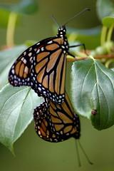 Mating Butterflies (Robby Cee) Tags: nature sex fantastic butterflies mating specnature