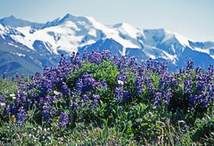 Flowers at Mt Hoge, Yukon (xtremepeaks) Tags: flowers summer canada mountains nature landscape mt hiking north yukon wildflowers hoge wonderworld i500 interestingness119 explore21july06 worldbest