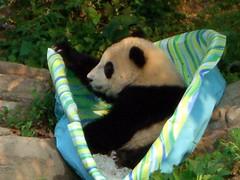 I wonder what I can do with this? (desbah) Tags: zoo panda taishan