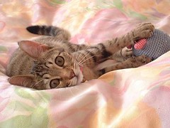 Momo on my bed (Tamagurumi) Tags: cat beautifulkitten abigfave