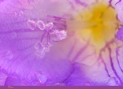 acuarela (Difusa) Tags: chile flowers naturaleza flores flower color macro primavera water colors drops spring flora agua flor natura colores gotas violeta thegallery pistilos estambres lmff lmff1 lmff2 lmff3 difusa ltytr2 ltytr1