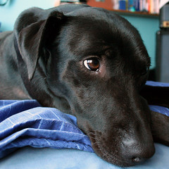 Bailey watching tv (brown-dog) Tags: canon eos 350d rebel lab labrador blackdog bailey browndog digitalrebel eos350d bails
