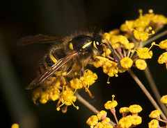 """Norwegian Wasp (dolichovespula norwegica) • <a style=""""font-size:0.8em;"""" href=""""http://www.flickr.com/photos/57024565@N00/201691735/"""" target=""""_blank"""">View on Flickr</a>"""