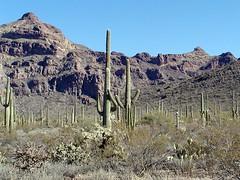 Saguaro Cacti - Organ Pipe Catus National Monument - Arizona - 23 January 2002 (goatlockerguns) Tags: arizona cactus mountains southwest cacti nationalpark desert saguaro nationalmonument ajo saguarocactus organpipe ajomountains
