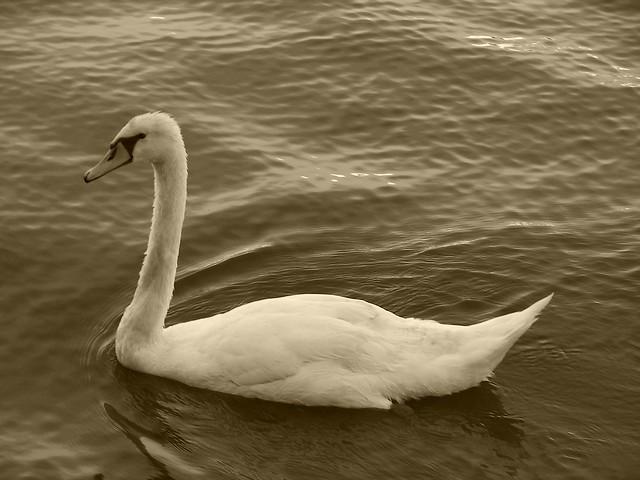 Swanlike