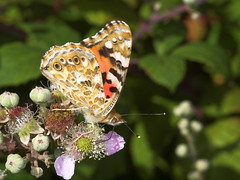 """Painted Lady Butterfly (vanessa cardu(2) • <a style=""""font-size:0.8em;"""" href=""""http://www.flickr.com/photos/57024565@N00/207181803/"""" target=""""_blank"""">View on Flickr</a>"""